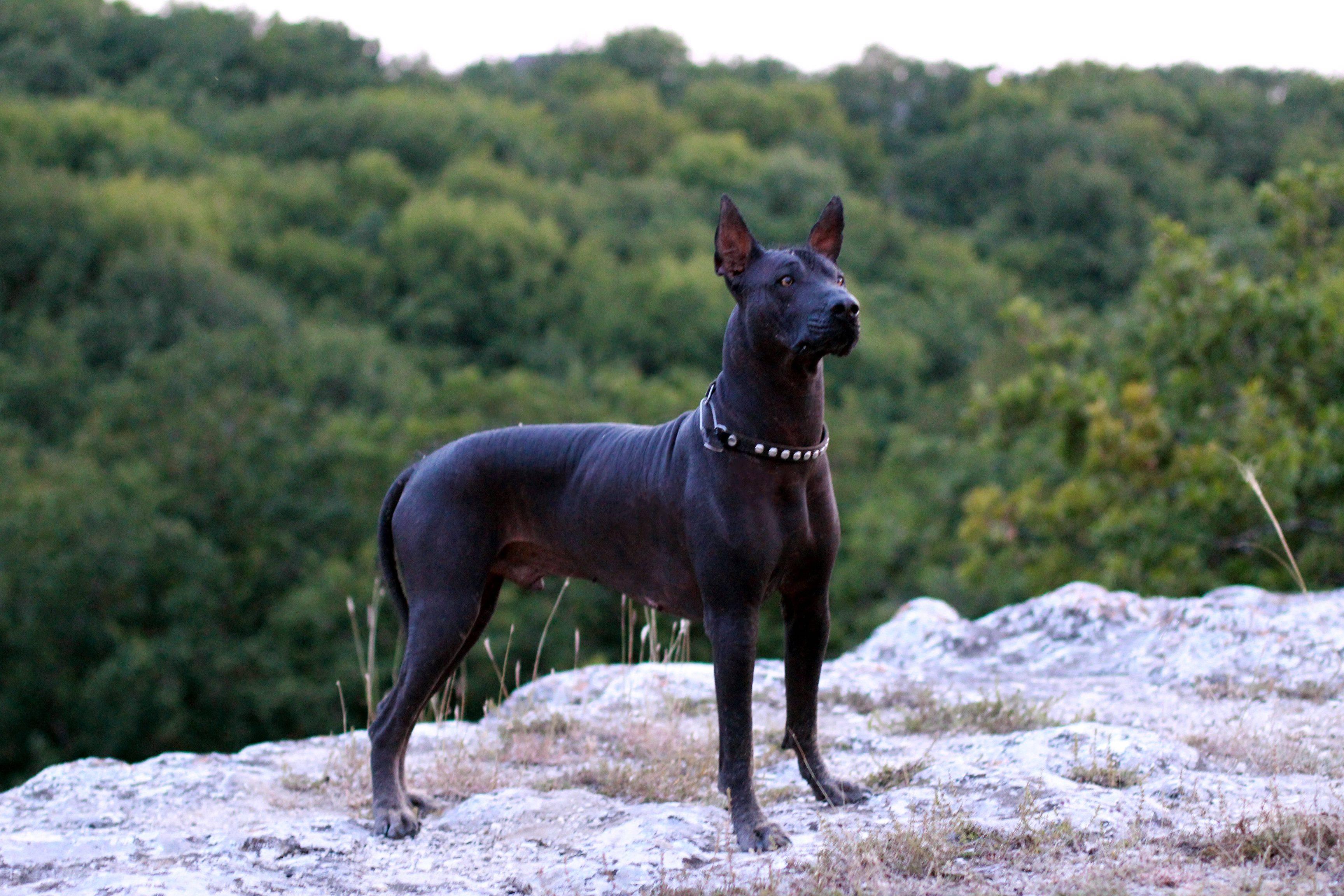 Ксолоитцкуинтли (мексиканская лысая собака): описание породы, характер, фото, питомники