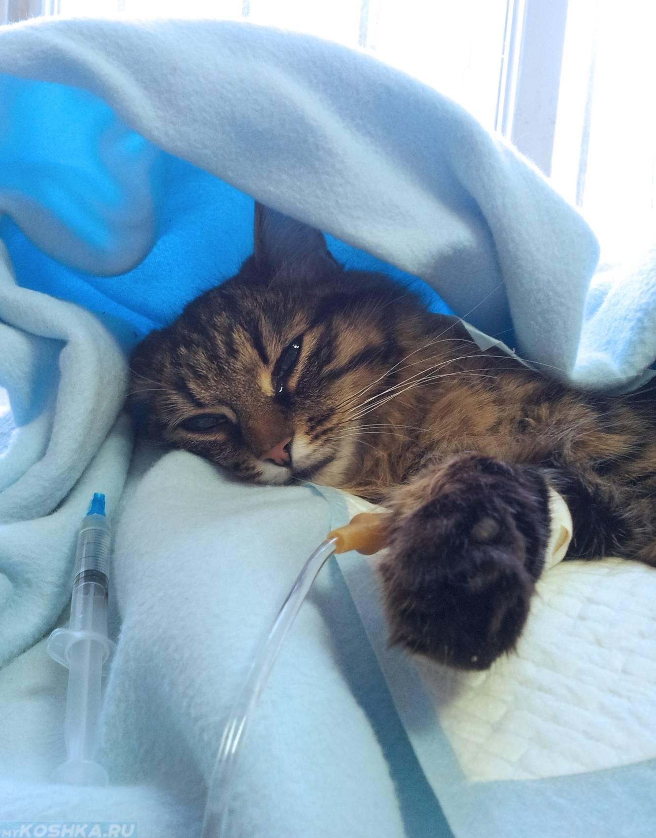 Что делать если кошку рвет с кровью | частая рвота у кошки и ее опасность