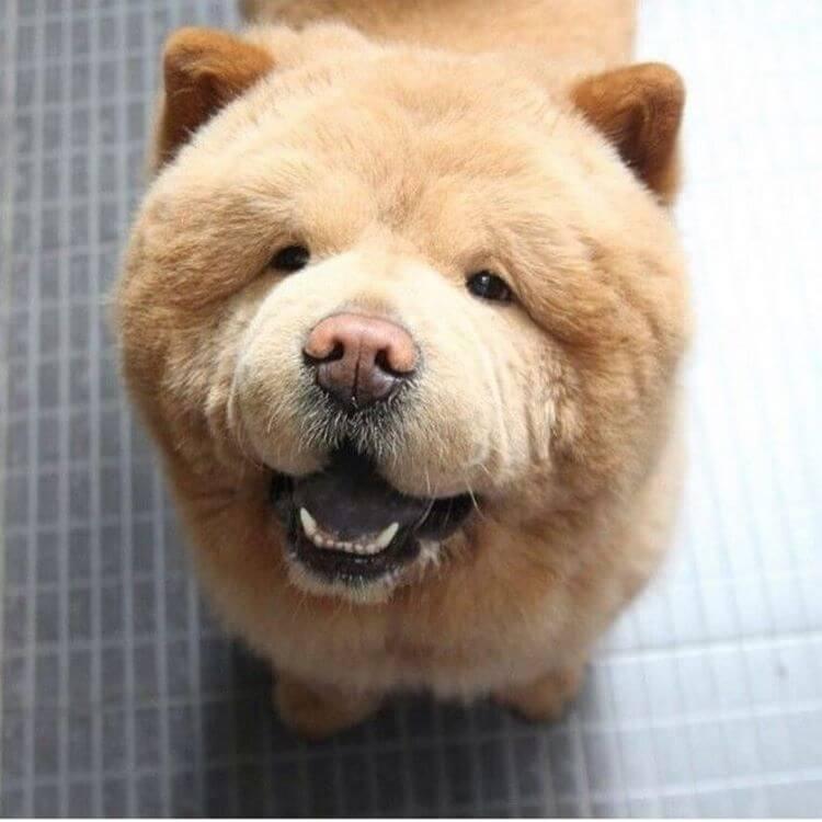 Собаки, похожие на медвежонка (43 фото): особенности пород собак-медведей. как называется маленький пушистый щенок? большие плюшевые собаки