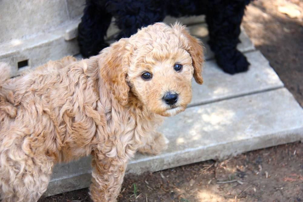 Лабрадудль - обзор породы собак от а до я. фото, характер, история, отзывы + плюсы и минусы породы