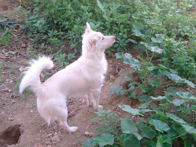 Гриффон кортальса: описание породы собак с фото и видео