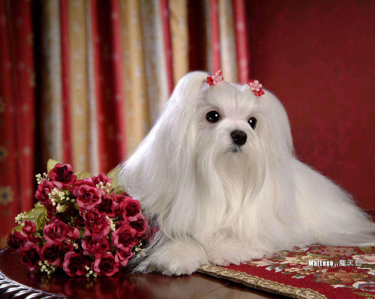 Декоративные породы собак — обзор с фотографиями, названиями и кратким описанием