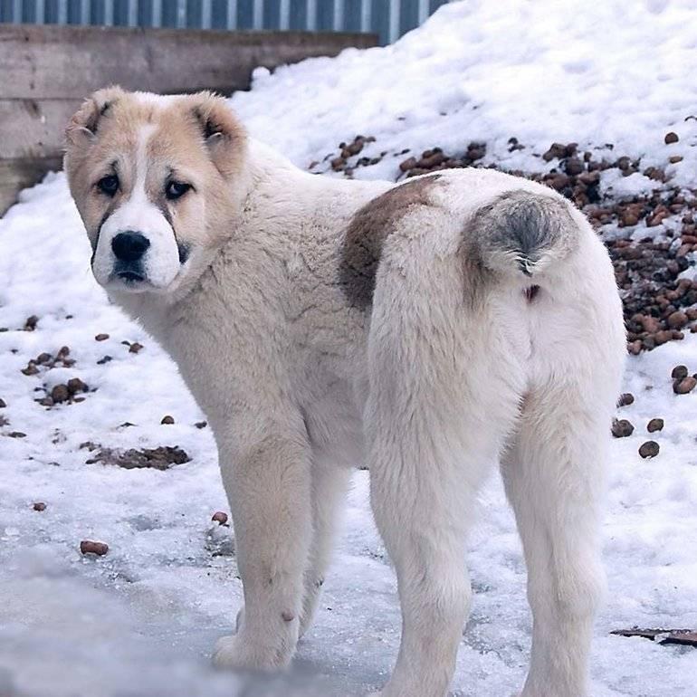 Среднеазиатская овчарка (алабай, туркменский волкодав)