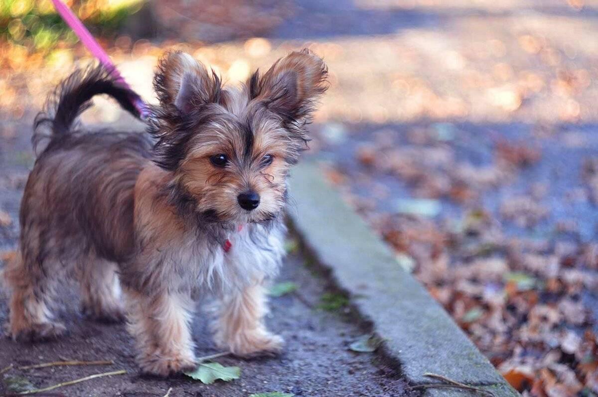 Метисы чихуахуа: фото помесей, описание внешнего вида, особенности характера и правила ухода + похожие на данную породы собак