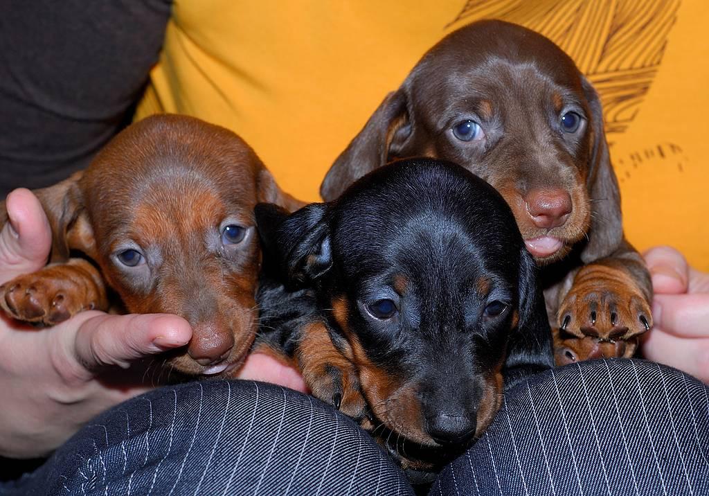 Кличка для таксы-мальчика: выбираем имя собаке по темпераменту, внешности. как можно назвать кобеля черного цвета? прикольные имена для щенка маленькой породы