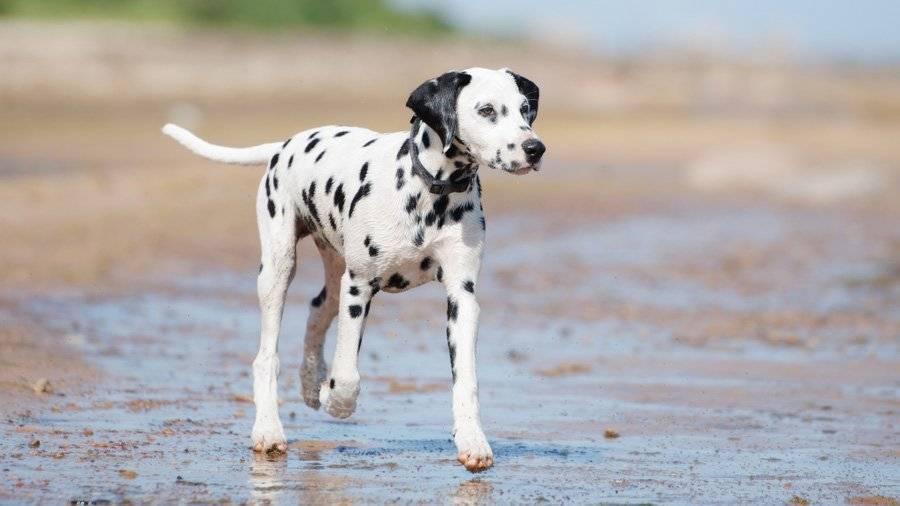 Далматинец – звездный пес, прирожденный артист и любимец детей
