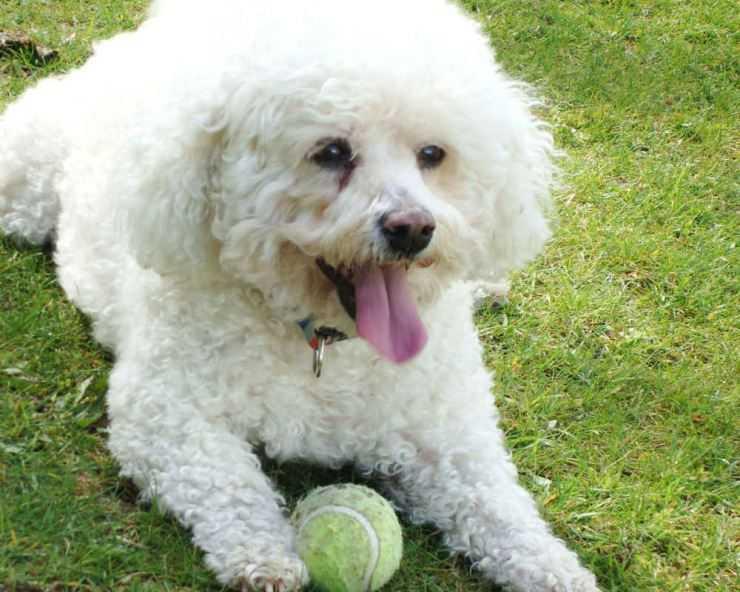 Описание породы собак бишон фризе, особенности поведения и ухода