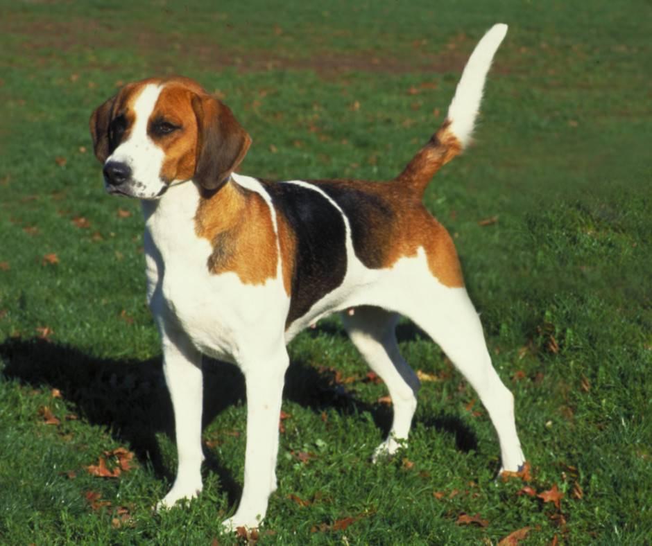 Описание породы собак американский фоксхаунд с отзывами и фото
