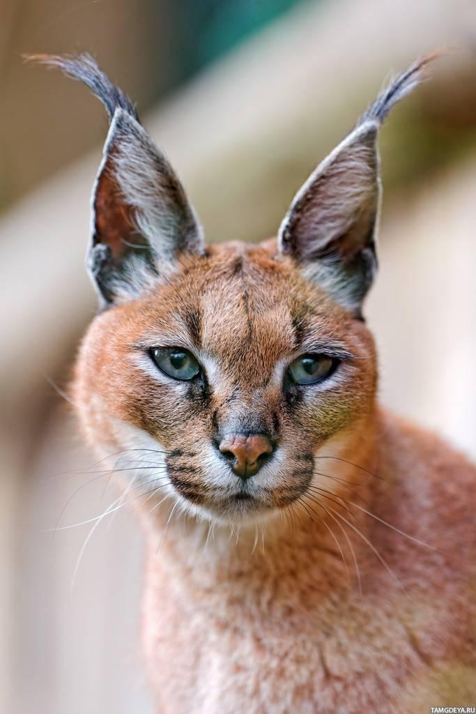 Породы кошек с кисточками на ушах (фотографии и описание)