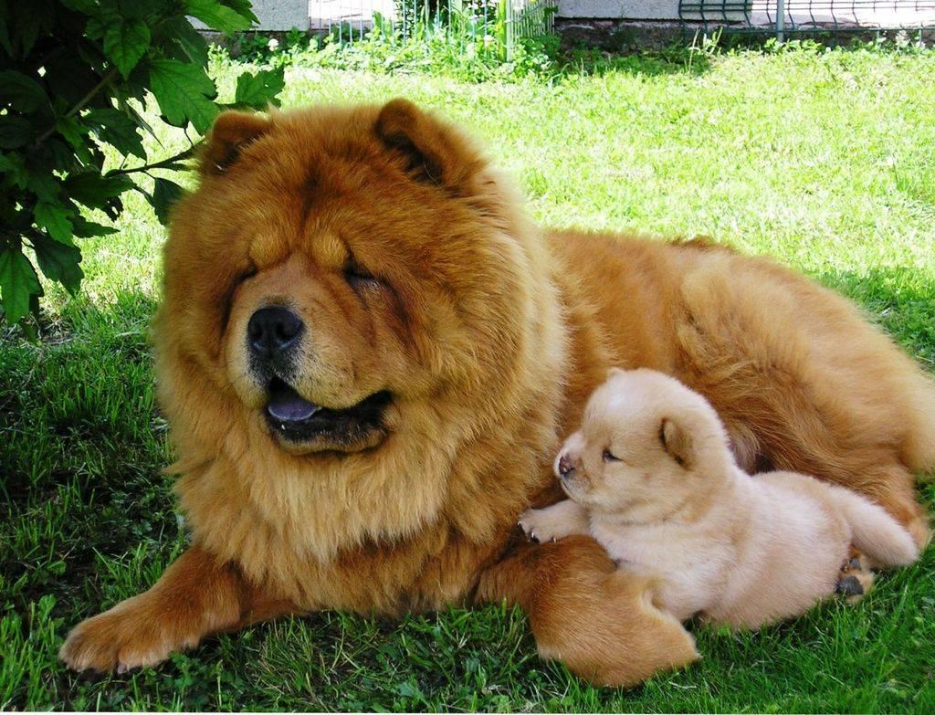 Собаки породы чау-чау (фото): своенравный домашний лев - kot-pes