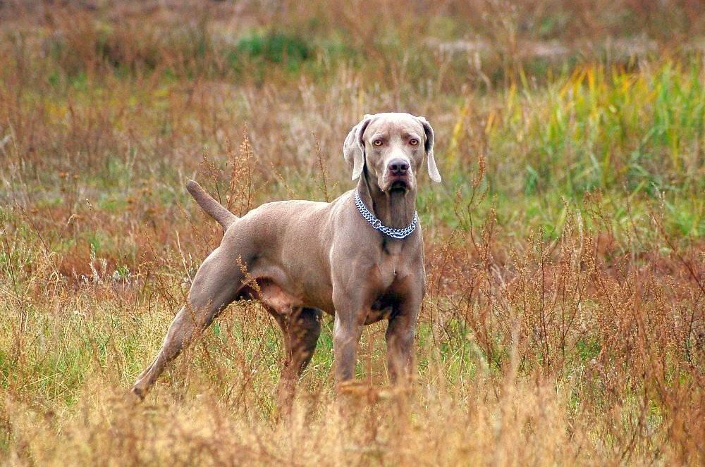 Веймаранер собака. описание, особенности, уход и цена веймаранера