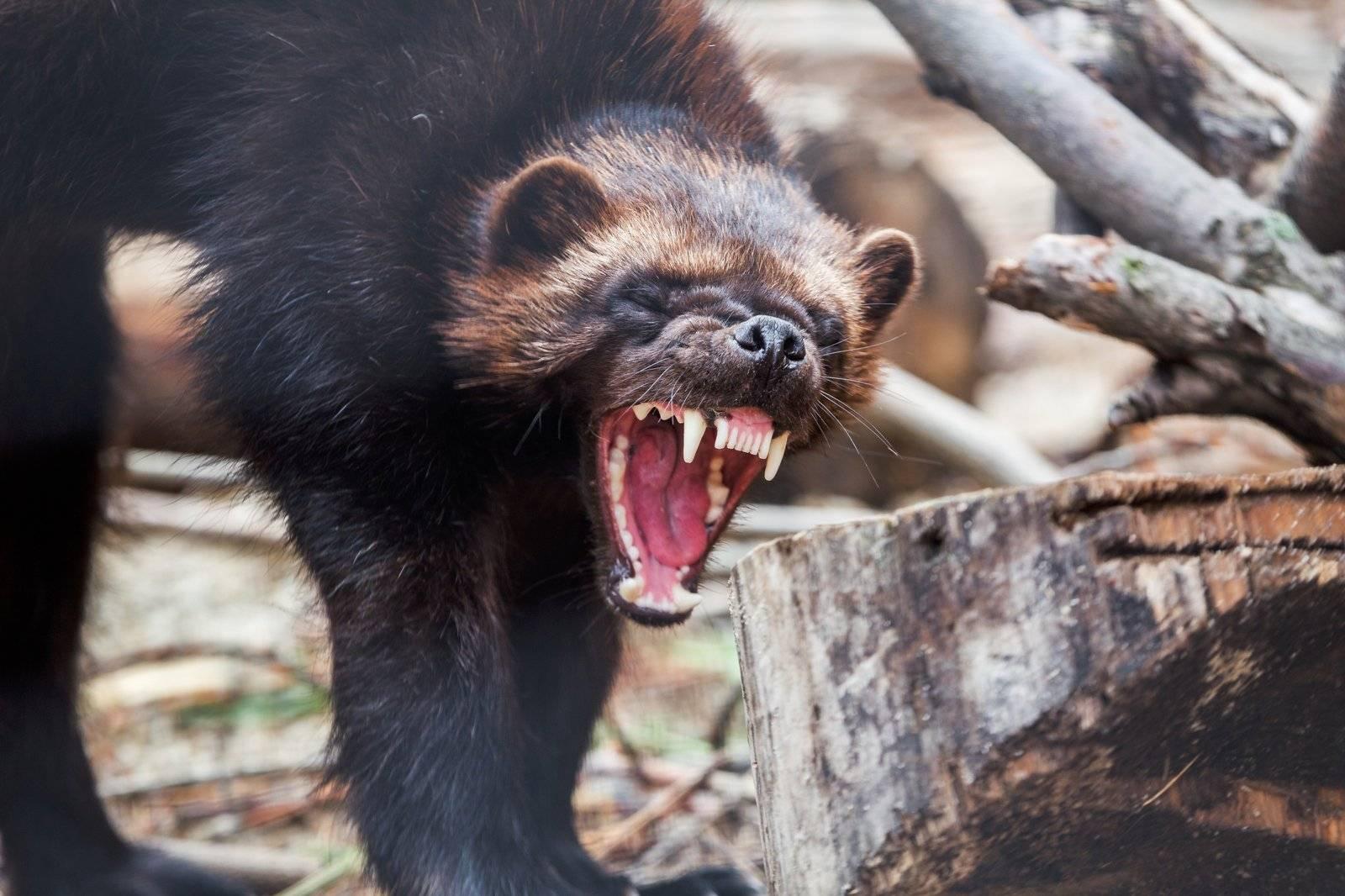 Росомаха: описание животного, среда обитания, чем питается