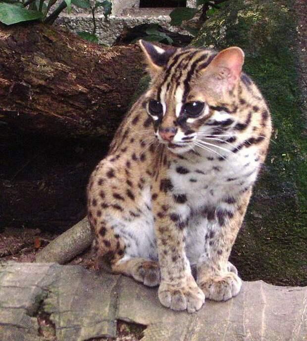 Азиатская табби: описание породы кошек и правила содержания