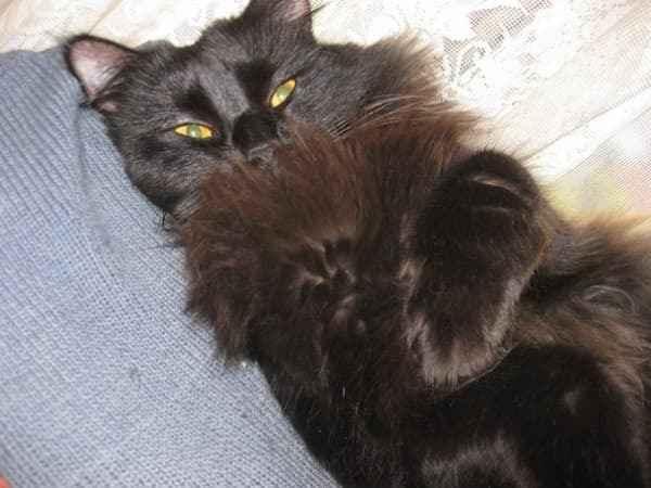 Шантильи тиффани кошка - все про породу, уход