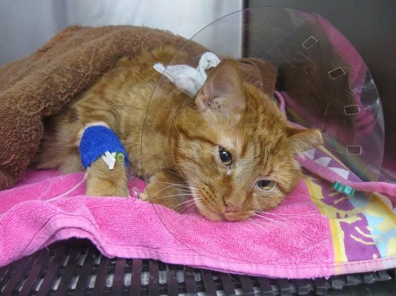 """Острая почечная недостаточность у кошек (опн) - симптомы и лечение почечной недостаточности  кошек в москве. ветеринарная клиника """"зоостатус"""""""