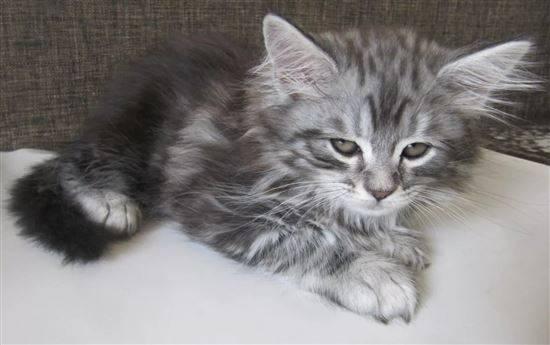 Чем отличается мейн-кун от обычной кошки: сравнение чистокровных котят с другими