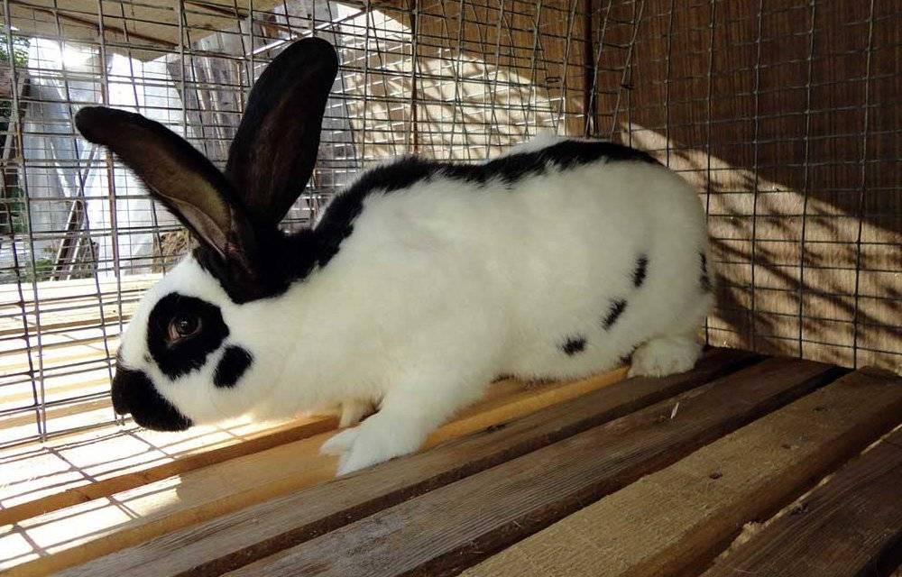 Кролик строкач: описание породы, характеристика, параметры