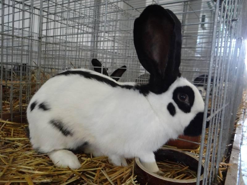 Кролики ризен - описание породы немецкий великан