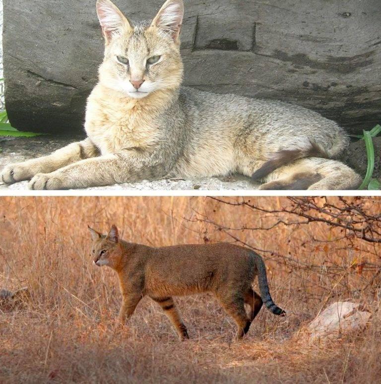 Камышовый кот — описание, места обитания, содержание, виды и стоимость кошки (видео + 110 фото)