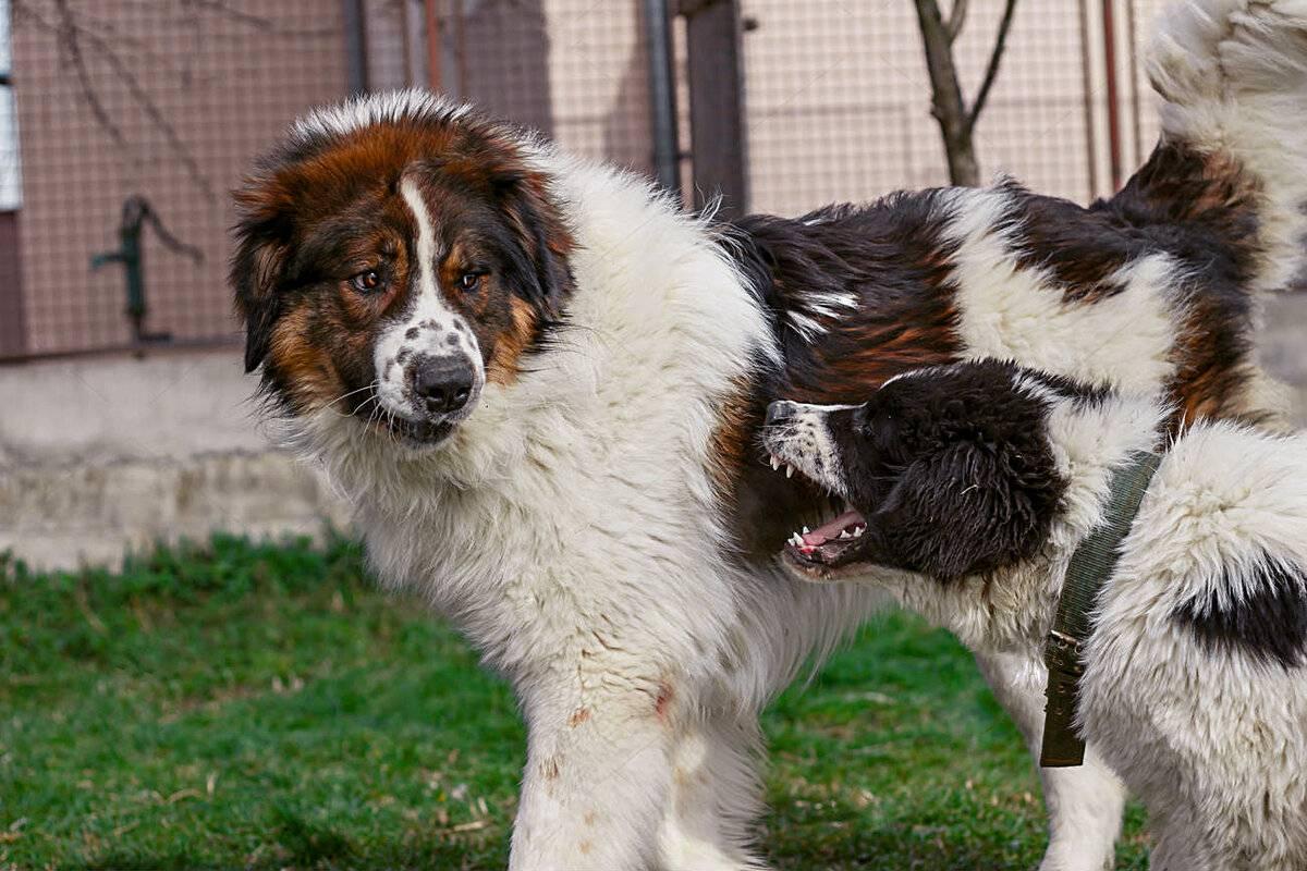 Тибетский терьер: особенности ухода, советы по выбору рациона питания и обзор нюансов дрессуры собаки (105 фото)