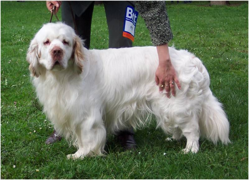 Кламбер спаниель собака. описание, особенности, уход и цена породы