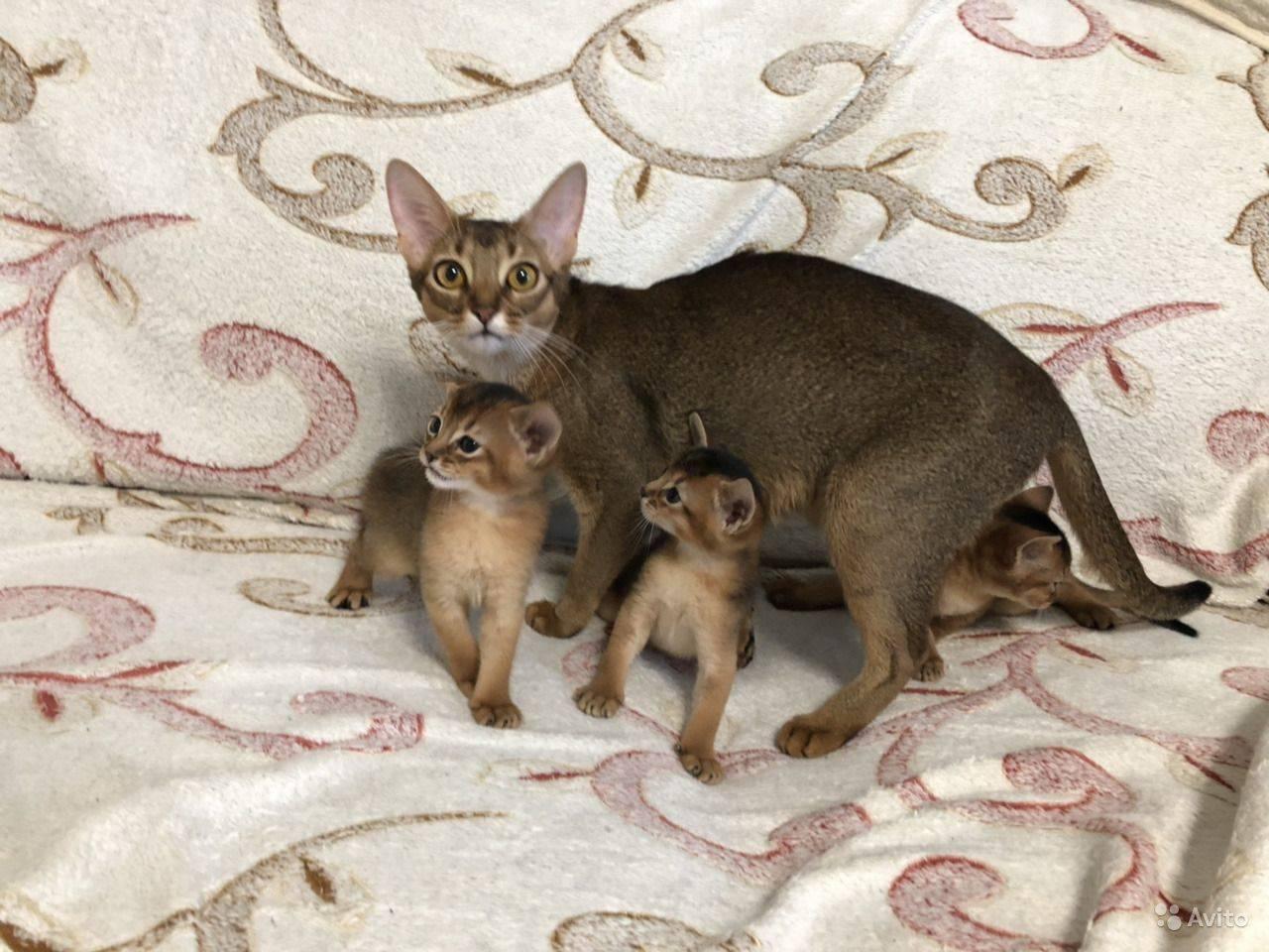 Правила содержания и ухода за абиссинским котенком