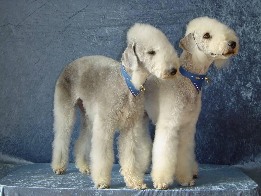 Полный перечень гипоаллергенных пород собак, которые не навредят человеку