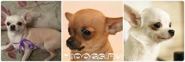 Течка у собак: сколько дней длится, симптомы начала и особенности