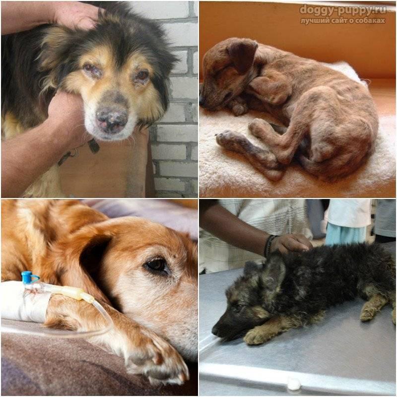 Чумка у собак: первые признаки, симптомы и лечение в домашних условиях