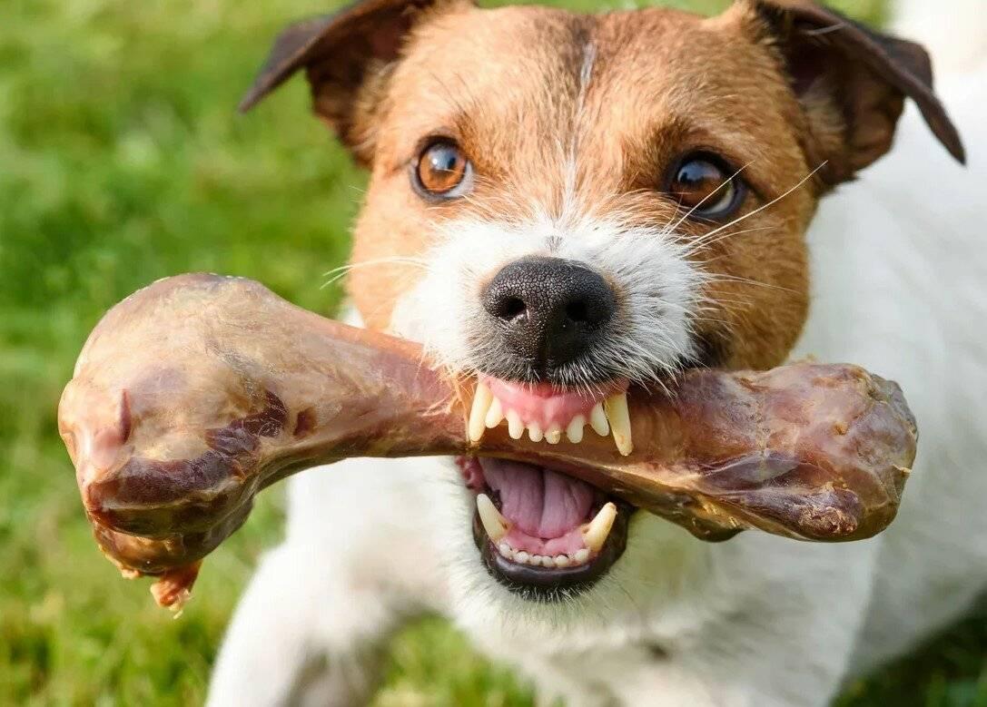 Лучше не злить: топ-6 пород собак способных перекусить кости - gafki.ru
