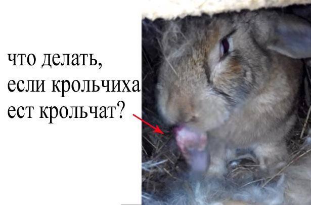 Поедания крольчихой потомства: вероятные причины и методы противодействия