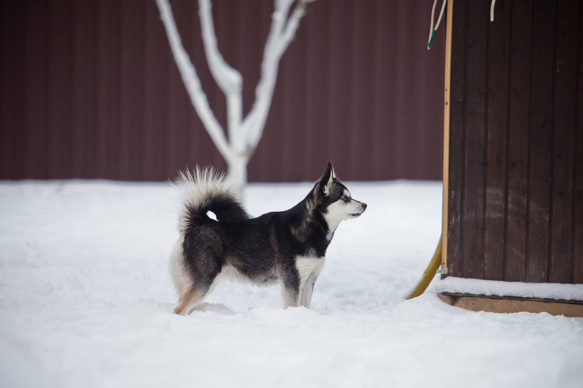 Аляскинский кли-кай
