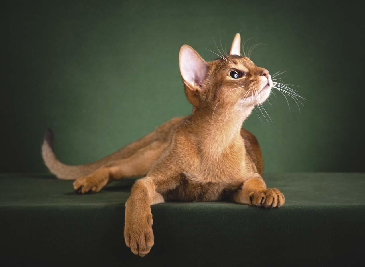 Уход и содержание за абиссинской породой кошки: особенности быта