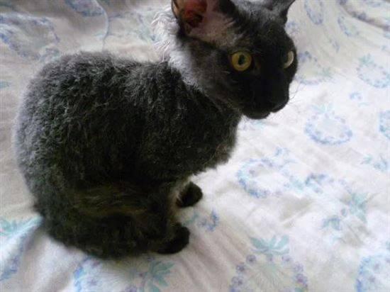 Метис кошка описание породы