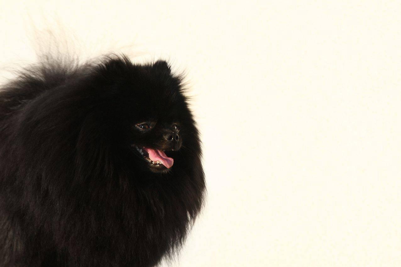 Описание породы померанских шпицев, особенности их характера и стандарты собаки
