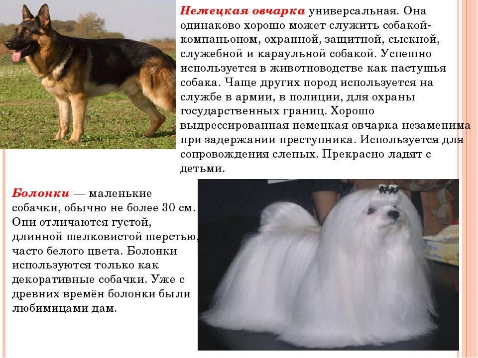 Немецкая овчарка - породы сторожевых и пастушьих овчарок - собаководство - собственник