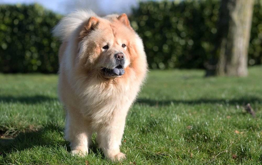 Собака породы чау-чау: 60 фото, особенности, советы по уходу и выбору