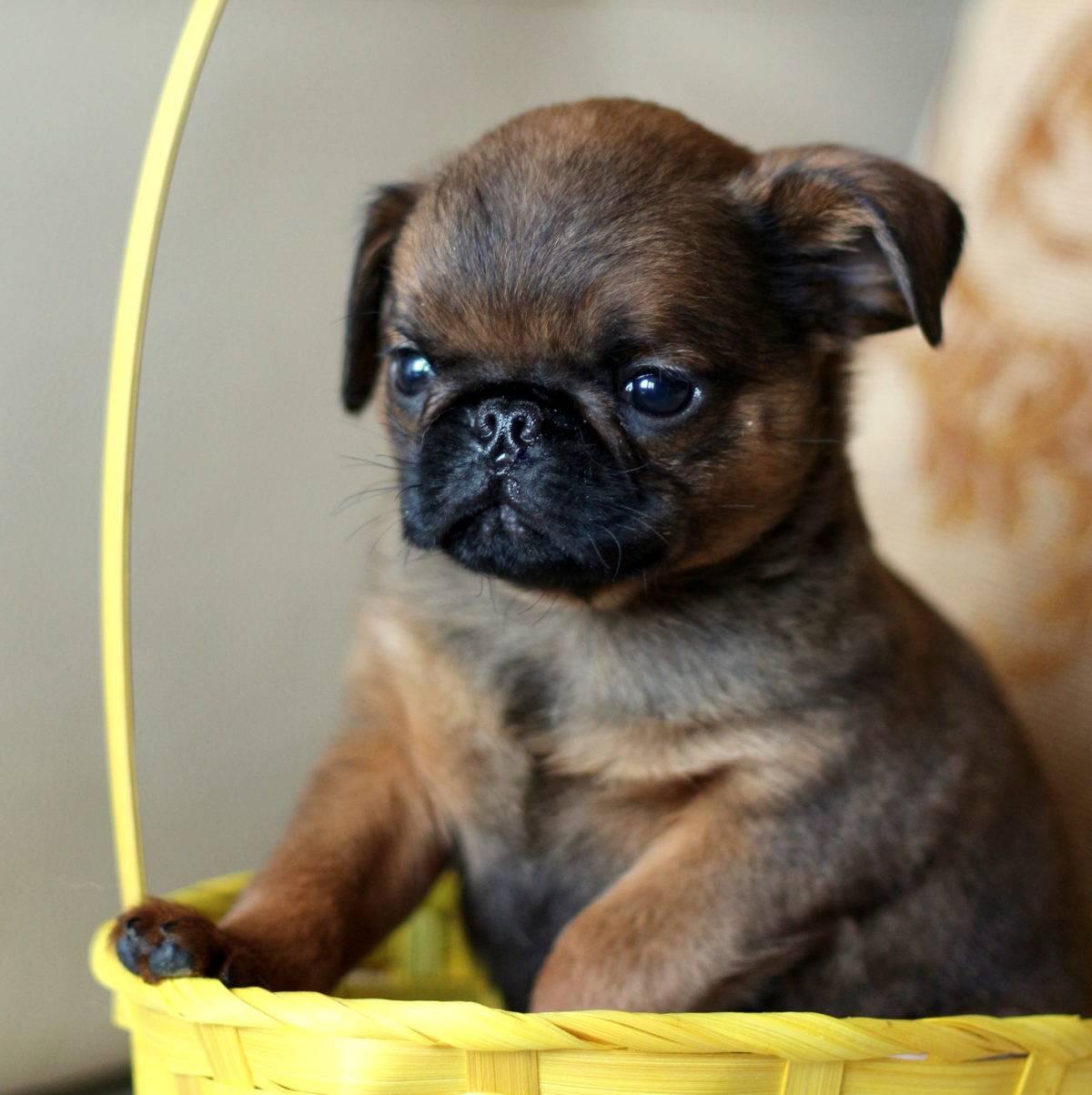 Брабансон собака. описание, особенности, уход и цена породы брабансон | животный мир