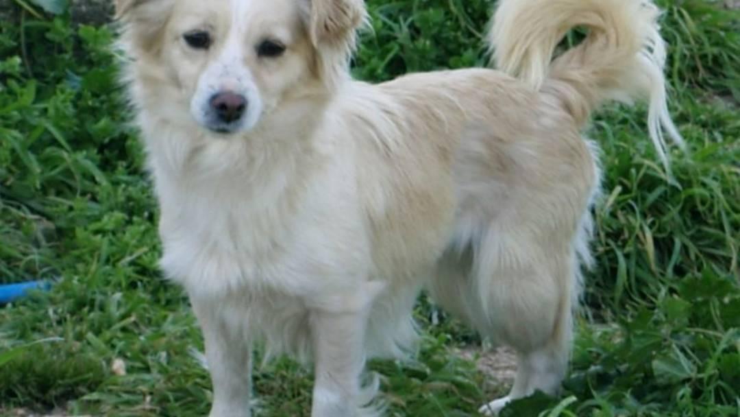 Алопекис собака: описание породы, фото, как выбрать и где купить щенка | petguru