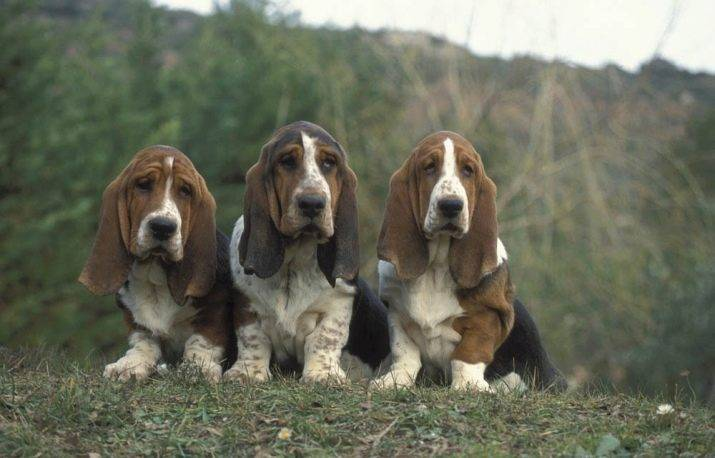 Породы собак с длинными ушами: описание и фото собак от мелких до самых крупных