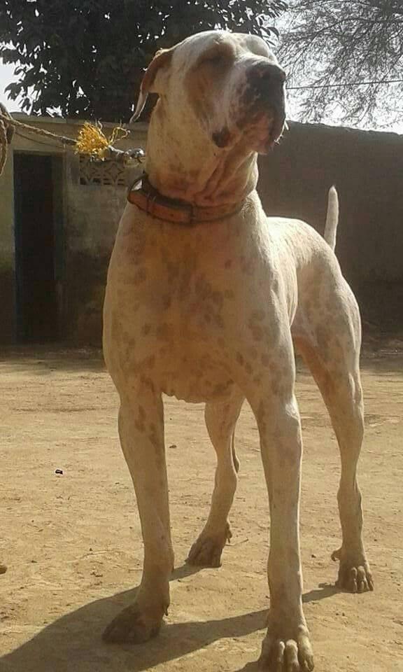 Американский булли: описание породы, характер собаки и щенка, фото, цена