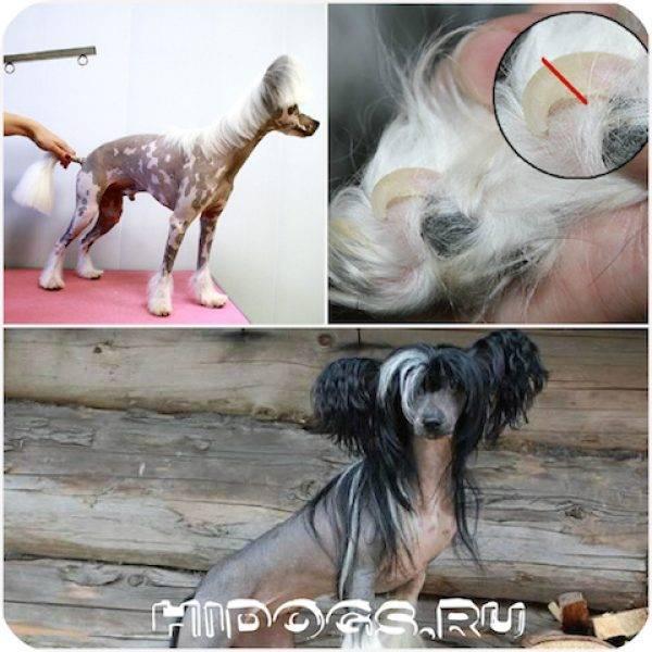 Китайская хохлатая глазами ветеринара