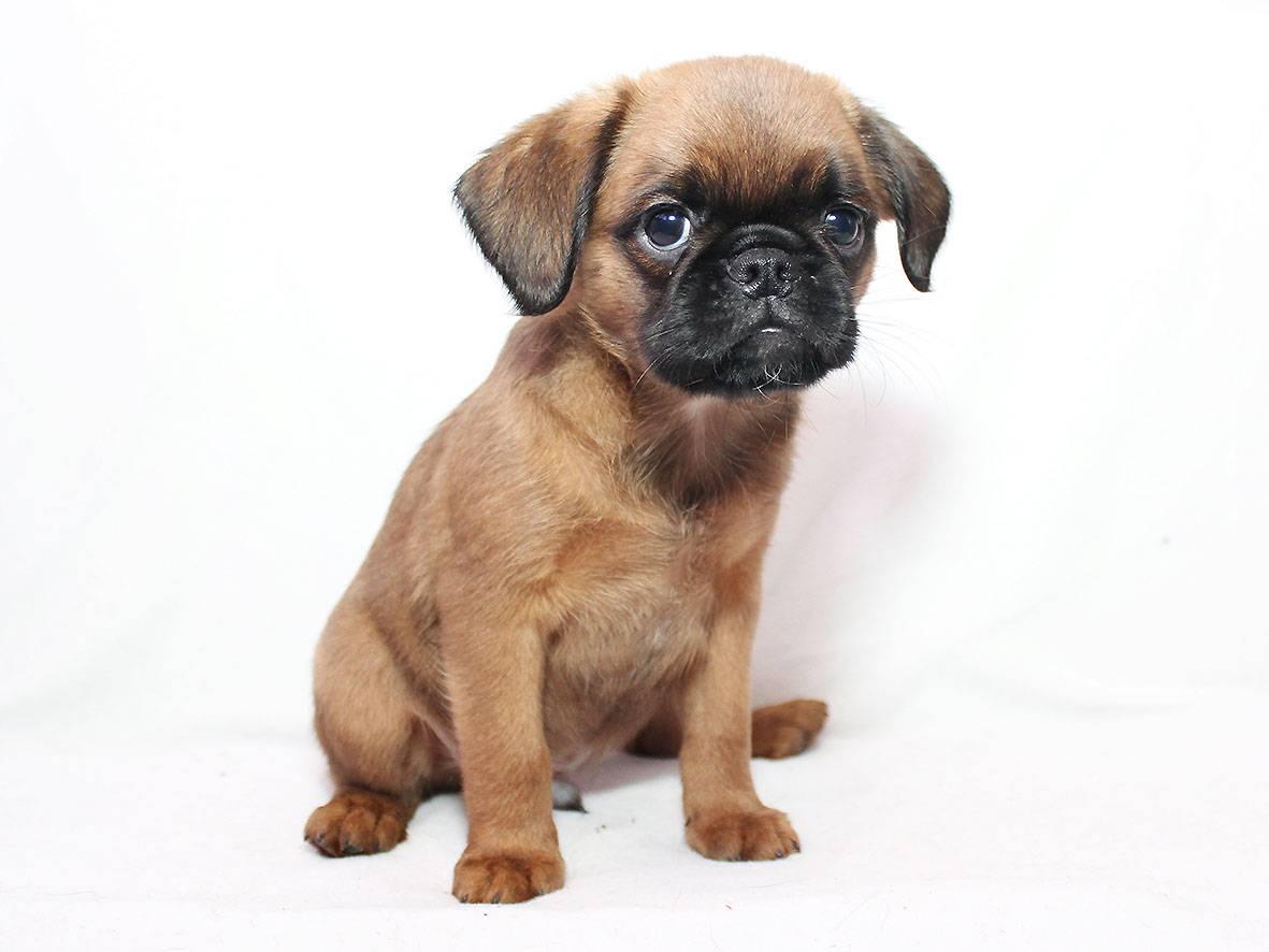 Пти брабансон: описание, фото, характер, содержание и уход за декоративной породой собак