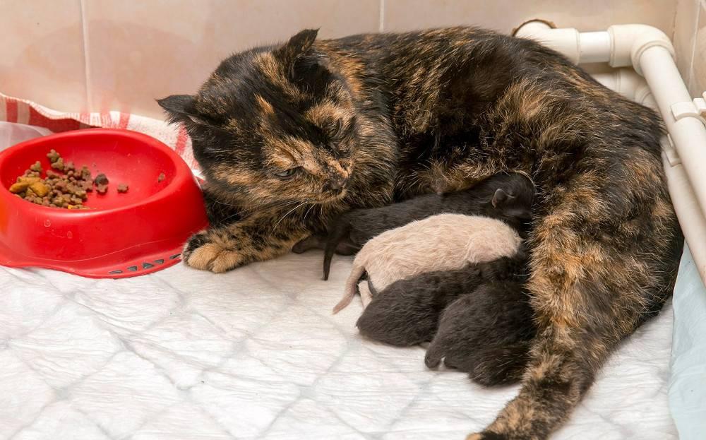Чем кормить кормящую кошку: особенности рациона, возможные проблемы