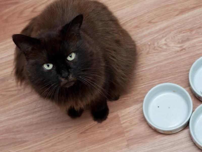На что указывает отсутствие аппетита у кошки?