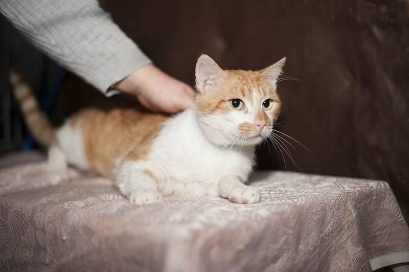 Как приучить взрослую кошку к рукам. как сделать кошку ласковой: секреты правильного воспитания