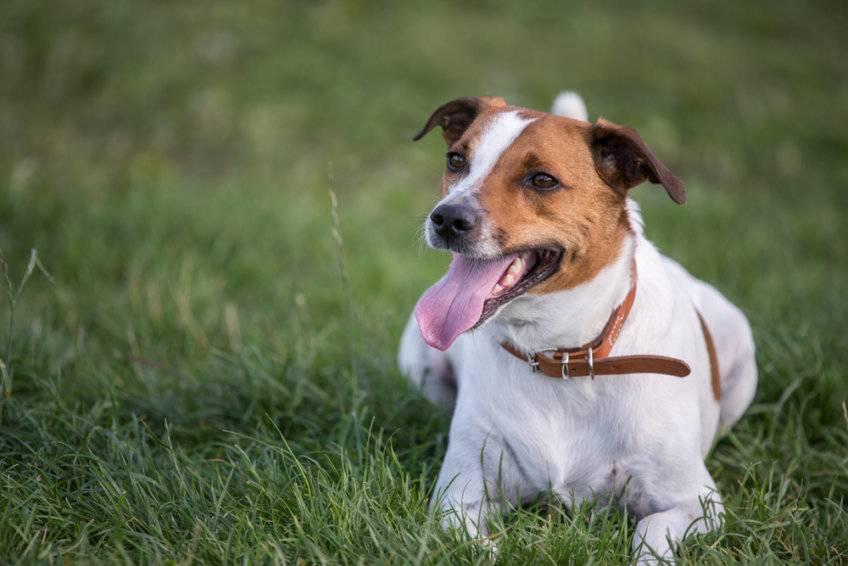Датско-шведская фермерская собака википедия