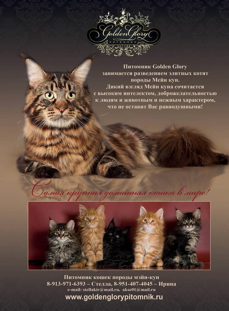 Фото мейн-куна — самой загадочной породы кошек