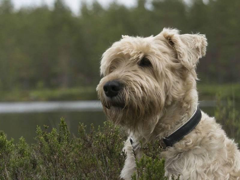Порода собак ирландский мягкошерстный пшеничный терьер - описание, характер, характеристика, фото ирландских мягкошерстных пшеничных терьеров и видео, цена