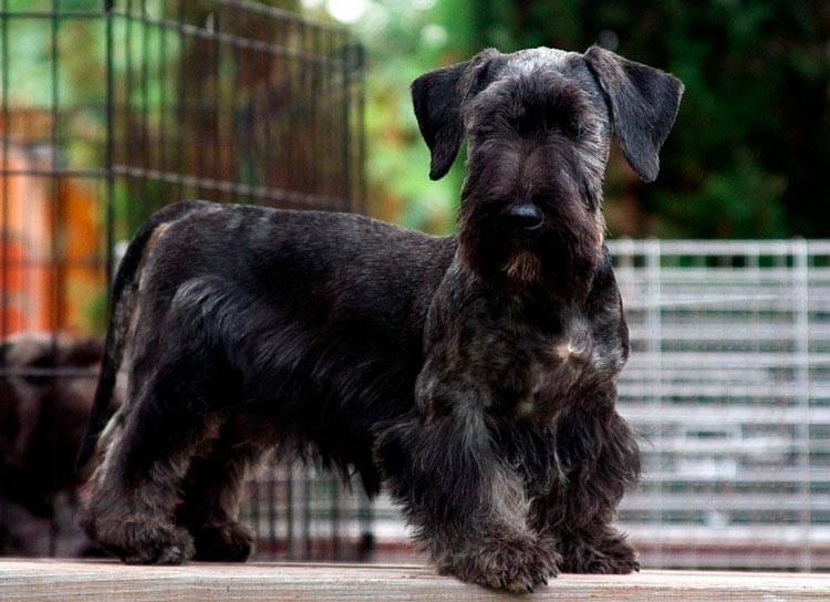 Чешский терьер - все о терьерах, порода собак, стандарт и классификация